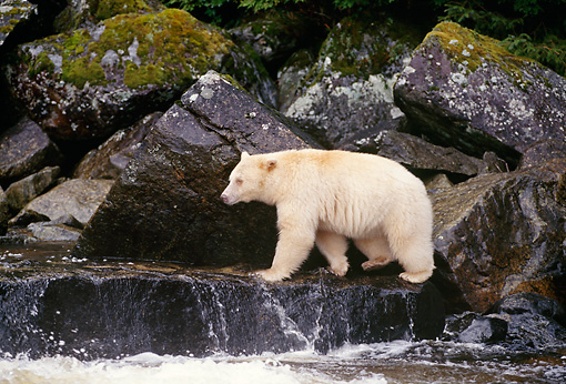 BEA 08 TL0018 01 © Kimball Stock Profile Of Kermode Black Bear Walking On Rock At Waterfall