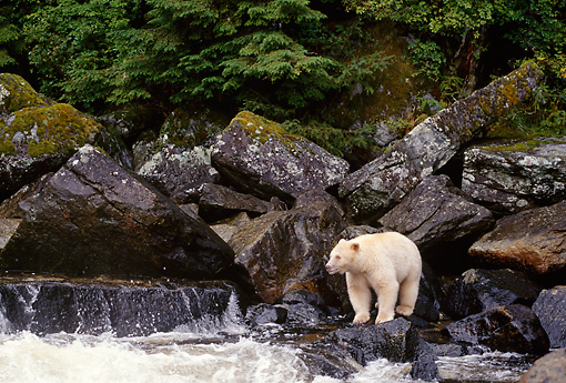 BEA 08 TL0019 01 © Kimball Stock Kermode Black Bear Standing On Rock At Waterfall