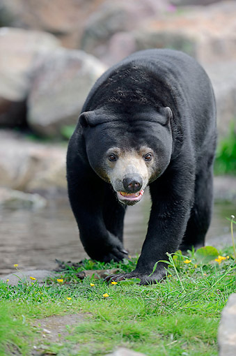 BEA 09 AC0001 01 © Kimball Stock Malayan Sun Bear Stalking Along Water's Edge