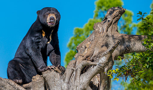 BEA 09 KH0001 01 © Kimball Stock Malayan Sun Bear On Old Fig Tree In Captivity