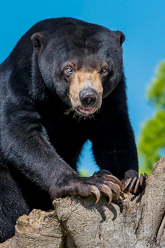 BEA 09 KH0002 01 © Kimball Stock Malayan Sun Bear On Old Fig Tree In Captivity