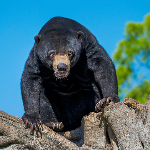 BEA 09 KH0003 01 © Kimball Stock Malayan Sun Bear On Old Fig Tree In Captivity