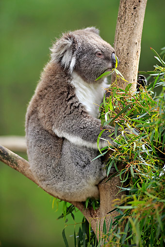 BEA 10 AC0003 01 © Kimball Stock Koala Adult Eating On Tree In Victoria, Australia