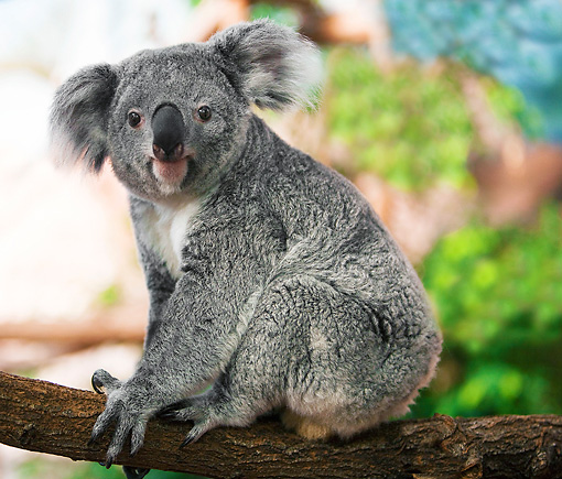 BEA 10 GL0001 01 © Kimball Stock Koala Female Sitting On Tree Branch