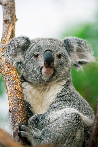 BEA 10 GL0003 01 © Kimball Stock Close-Up Of Koala Sitting On Tree Branch