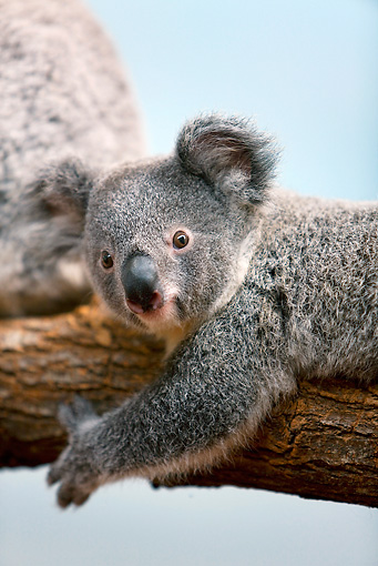 BEA 10 GL0004 01 © Kimball Stock Close-Up Of Baby Koala Laying On Tree Branch