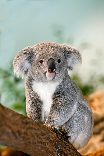 BEA 10 GL0005 01 © Kimball Stock Koala Sitting On Tree Branch