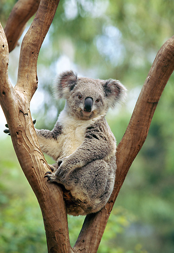 BEA 10 GL0006 01 © Kimball Stock Portrait Of Koala Sitting In Tree