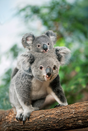 BEA 10 GL0007 01 © Kimball Stock Koala Mother Carrying Joey On Back In Tree
