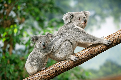 BEA 10 GL0009 01 © Kimball Stock Koala Mother Carrying Joey On Back In Tree