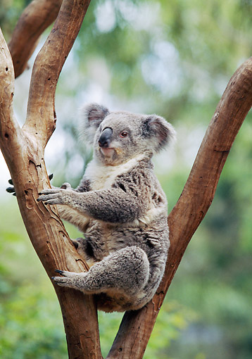 BEA 10 GL0011 01 © Kimball Stock Portrait Of Koala Sitting In Tree