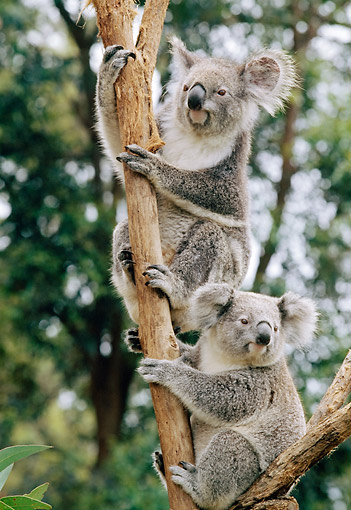 BEA 10 GL0012 01 © Kimball Stock Portrait Of Two Koalas Sitting In Eucalyptus Tree