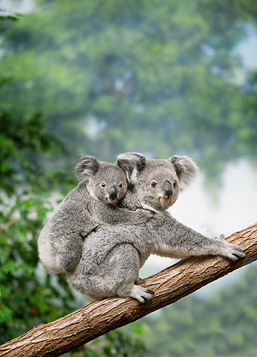 BEA 10 GL0013 01 © Kimball Stock Koala Mother With Young On Back Climbing In Tree