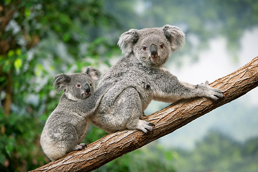 BEA 10 GL0014 01 © Kimball Stock Koala Mother Standing On Tree Branch With Young