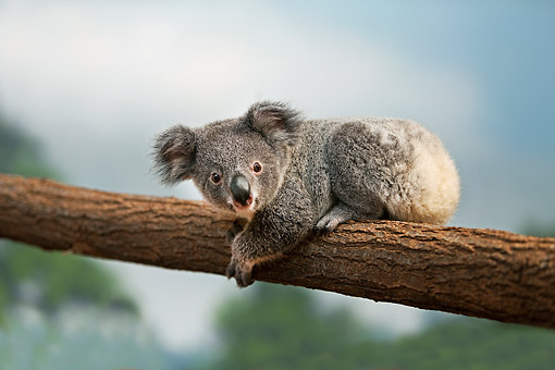 BEA 10 GL0015 01 © Kimball Stock Young Koala Laying On Tree Branch