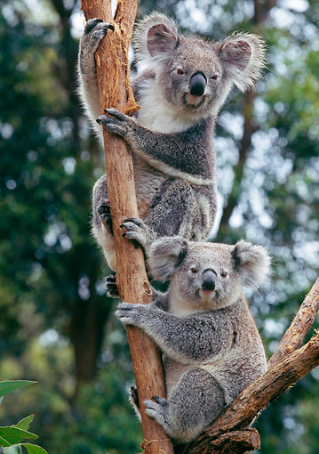 BEA 10 GL0016 01 © Kimball Stock Koala Bear Mother And Young Sitting In Tree