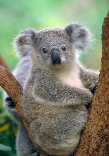 BEA 10 GL0017 01 © Kimball Stock Koala Bear Young Sitting In Tree