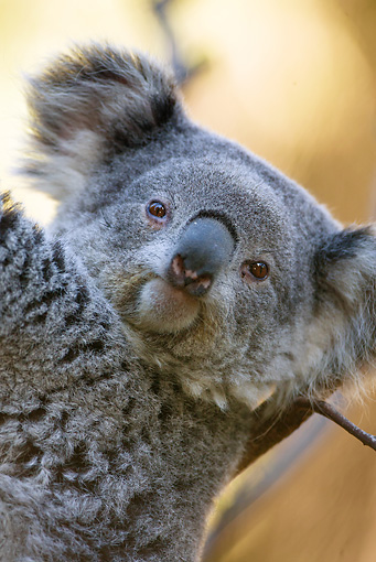 BEA 10 MC0001 01 © Kimball Stock Head Shot Of Koala Climbing Eucalyptus Tree Australia