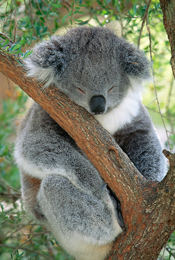 BEA 10 MH0001 01 © Kimball Stock Koala Sleeping In Eucalyptus Tree
