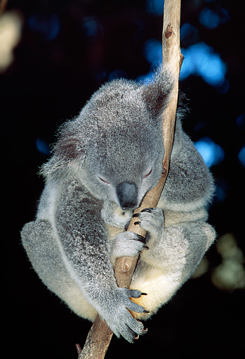 BEA 10 MH0002 01 © Kimball Stock Koala Sleeping In Eucalyptus Tree