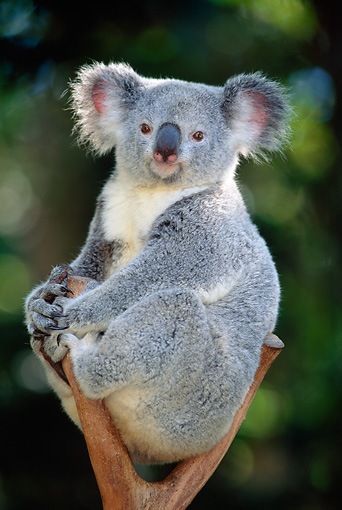 BEA 10 MH0003 01 © Kimball Stock Portrait Of Koala Sitting In Eucalyptus Tree