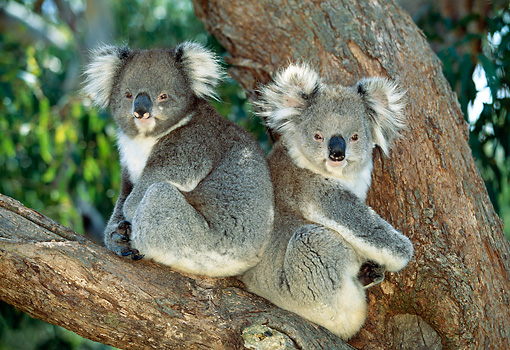 BEA 10 MH0004 01 © Kimball Stock Two Koalas Sitting In Eucalyptus Tree
