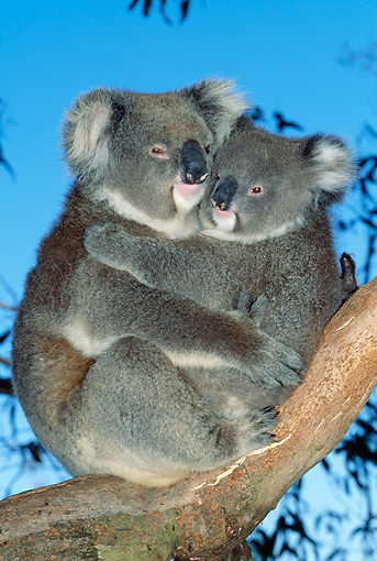 BEA 10 MH0005 01 © Kimball Stock Koalas Mother Holding Joey In Eucalyptus Tree