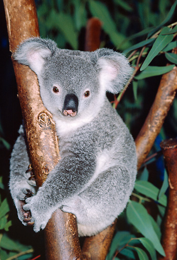 BEA 10 RK0001 18 © Kimball Stock Koala Sitting In Tree