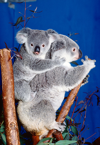 BEA 10 RK0003 20 © Kimball Stock Koala Cub And Mother Sitting In Tree