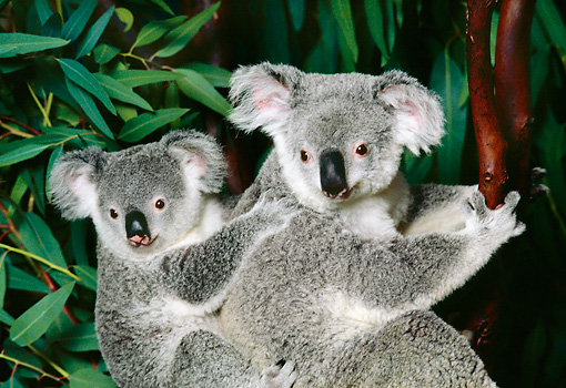 BEA 10 RK0003 52 © Kimball Stock Koala Cub And Mother Sitting In Tree