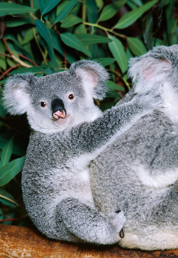 BEA 10 RK0003 56 © Kimball Stock Koala Cub And Mother Sitting In Tree