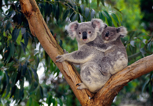 BEA 10 KH0002 01 © Kimball Stock Koala Mother And Joey Sitting In Tree