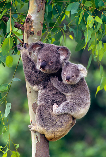 BEA 10 KH0003 01 © Kimball Stock Koala Mother And Joey Clinging To Tree Trunk