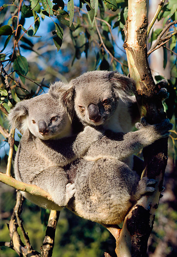 BEA 10 LS0001 01 © Kimball Stock Koala Mother And Young Sitting In Tree