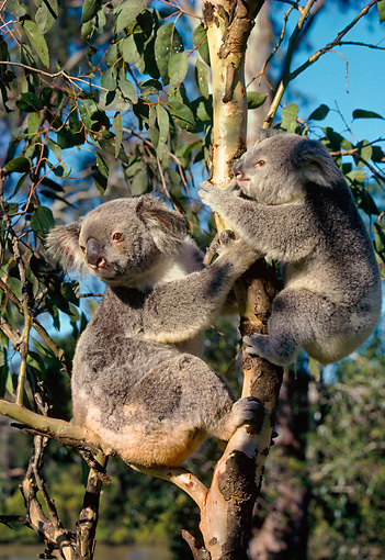 BEA 10 LS0002 01 © Kimball Stock Koala Mother And Young Sitting In Tree