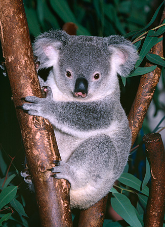 BEA 10 RK0001 09 © Kimball Stock Koala Sitting In Tree
