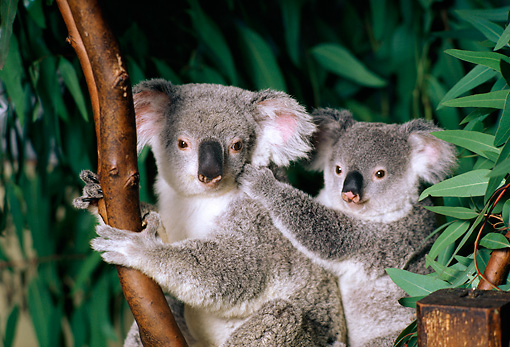 BEA 10 RK0003 11 © Kimball Stock Koala Cub And Mother Sitting In Tree