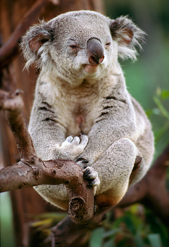 BEA 10 RK0005 01 © Kimball Stock Single Koala Bear Sitting In Tree