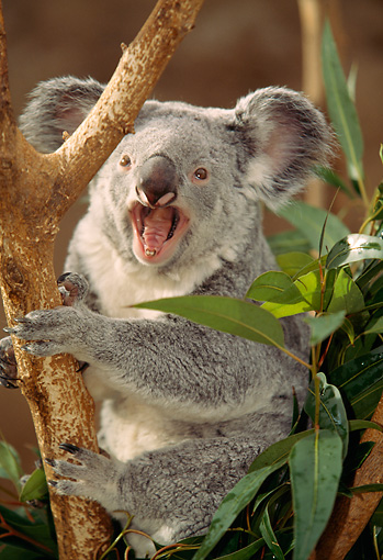 BEA 10 RW0001 01 © Kimball Stock Koala Calling In Tree