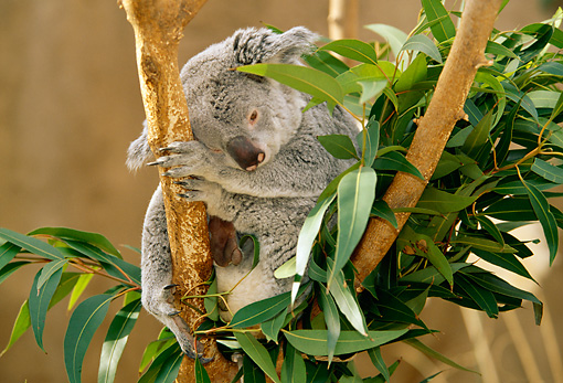 BEA 10 RW0002 01 © Kimball Stock Koala Sitting In Tree