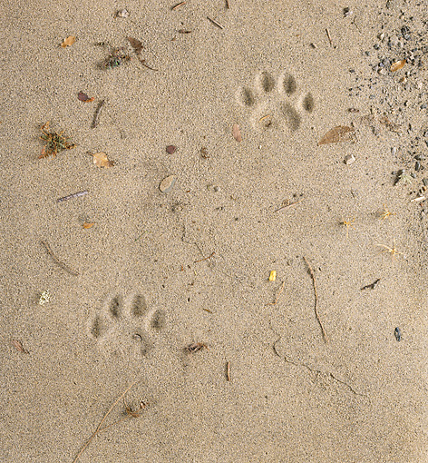 BKD 01 RK0010 01 © Kimball Stock Dog Paw Prints In Sand