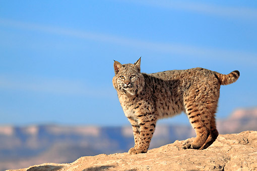 BOB 01 AC0002 01 © Kimball Stock Bobcat Standing In Monument Valley, Utah, USA