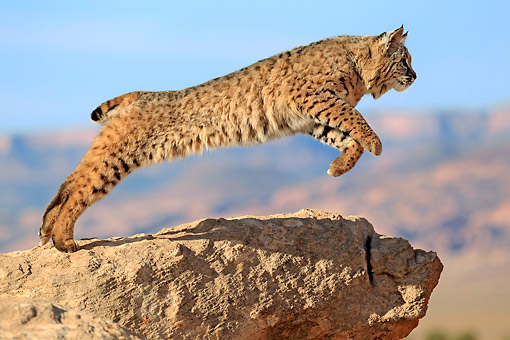 BOB 01 AC0006 01 © Kimball Stock Bobcat Leaping Off Rock In Desert In Monument Valley, Utah, USA
