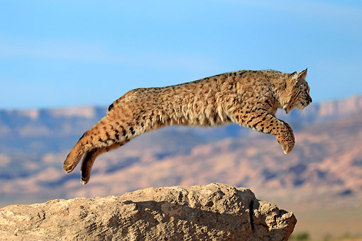 BOB 01 AC0007 01 © Kimball Stock Bobcat Leaping Off Rock In Desert In Monument Valley, Utah, USA