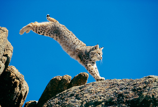 BOB 01 GL0001 01 © Kimball Stock Bobcat Leaping Across Rocks Against Blue Sky
