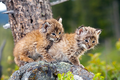 BOB 01 KH0001 01 © Kimball Stock Two Bobcat Kittens Sitting On Rock