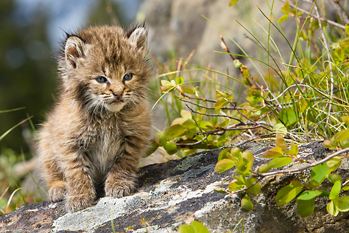 BOB 01 KH0006 01 © Kimball Stock Bobcat Kitten Sitting On Rock