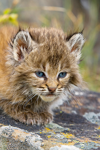 BOB 01 KH0008 01 © Kimball Stock Bobcat Kitten Laying On Rock
