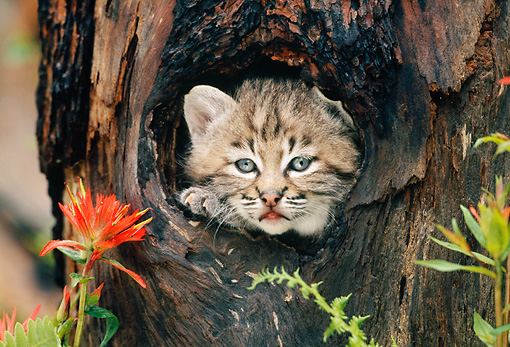 BOB 01 KH0009 01 © Kimball Stock Head Shot Of Bobcat Kitten Peeking Out Of Hole In Tree