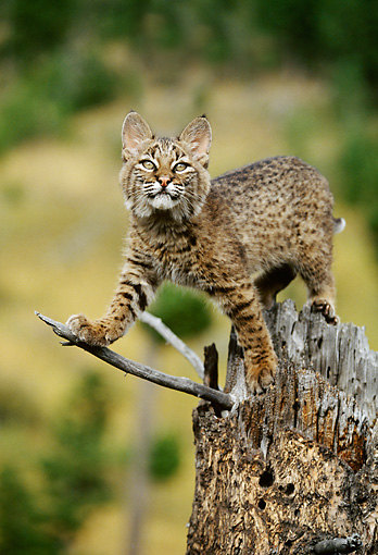 BOB 01 DB0003 01 © Kimball Stock Bobcat Kitten Standing On Tree Stump
